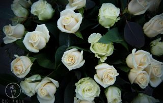 Bukiet 40 jasnych róż 3
